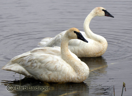 Two beautiful Trumpeter Swans at the Seney Wildlife Refuge.