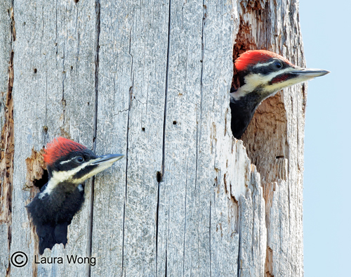 Young Pileated Wood Peckers wait for food.