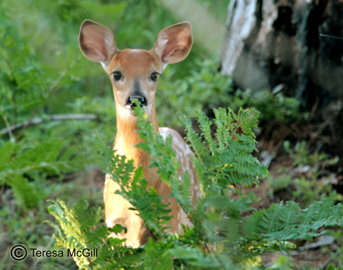 Spring photo of white tail fawn.